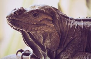 Rhinoceros Iguana by RaineyJ