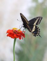Black Swallowtail 20D0011818 by Cristian-M