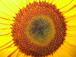 sunflower by petalouda1980