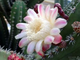 Cactus Flower by melsofmaui
