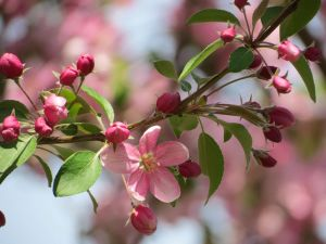 Crabapple Blossom by Kitteh-Pawz