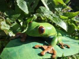 Red eyed tree frog by FortuneandGlory
