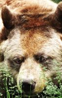 Cinnamon Bear head by Kayllik