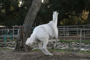 white horse stock 5 by Aestivall-Stock