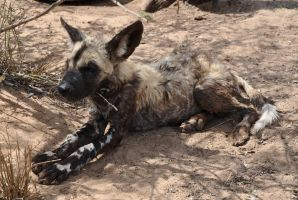 African Wild Dog Puppy - stock by kridah-stock