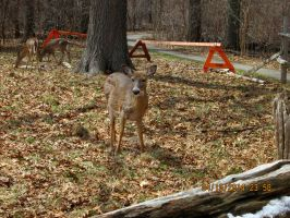 Deer  i saw at ojibway pic 9 by catsvsfox