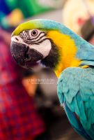 A Blue and Yellow Macaw Parrot by umerr2000
