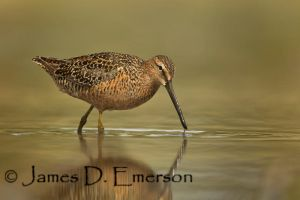 Long-billed Dowitcher by jamesjde
