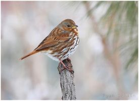 Fox Sparrow by Ryser915