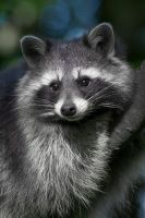 Racoon by Point-Blank-Silence