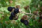 Dsc 0068 Blackberries 3 by wintersmagicstock