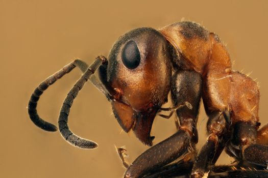 Red wood ant (Formica rufa) by Azph