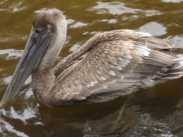 Brown Pelican 78 by AxelHonoo