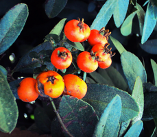 Red Berries 3 by Humble-Novice