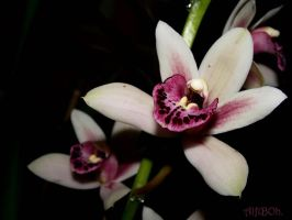 Orchids.. by AlfiBOh