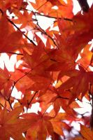 Japanese Maple Leaves II by xXCold-FireXx