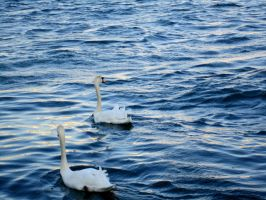 Swan and waves V by Santian69