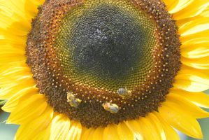 Pollen Station, Bees and Sunflower 20 by Miss-Tbones