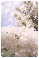 white lilac by rainbooms