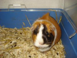 Pippi the guinea pig by NIGHTSandTAILSFAN