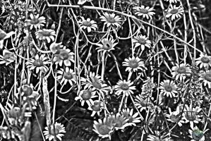 Black and White Daisies by everythingerika