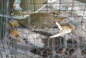Maryland Blue Crab pissed off by icreatedesigns