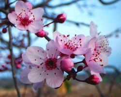 prunus by JELawrence