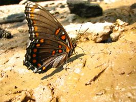 Red-spotted Purple by wax-wing