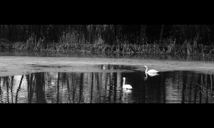 Swans 3 by FrantisekSpurny