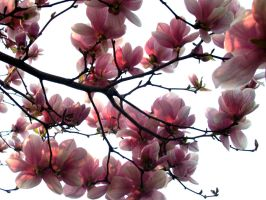 Magnolia Sun by Wixalette