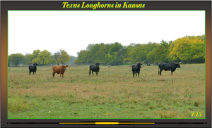 Texan Longhorn Cattle in Kansas by Taures-15