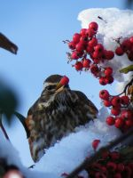 Redberry Redwing by StarbuckViper