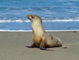 Sea Lion pose 1 by PaulWeber
