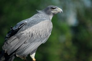 Grey buzzard eagle by Thatburdy