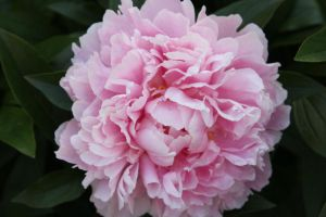 New May 2010 Peony by Kitsch1984