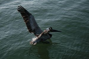 pelican stock 1 by xbr0kendevotion