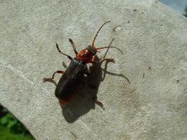 red beetle by harrietbaxter