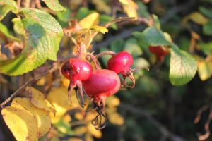 The last Rosehips by frits10a