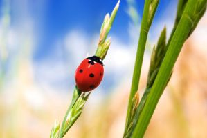 Ladybug - One Lucky Fellow by Point-Blank-Silence