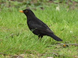 solitary blackbird by pagan-live-style