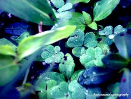 three leaf clover or not? :D by HazuMasaza
