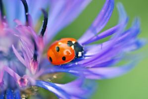 Ladybird blue 2 by safe-t