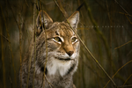 Luchs by DREAMCA7CHER