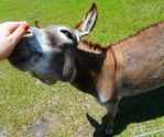 Miniature Donkey 2 by MarieMichaels