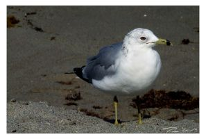 Seagull by tominabox1