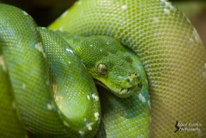 Green Tree Python 2 by EdgedFeather