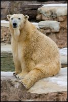 polar bear4 by redbeard31