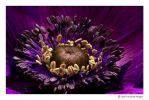 eye of the anemone by hortensie