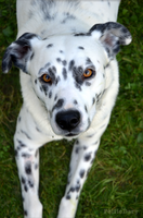 Dalmatian mix by PolfieDary