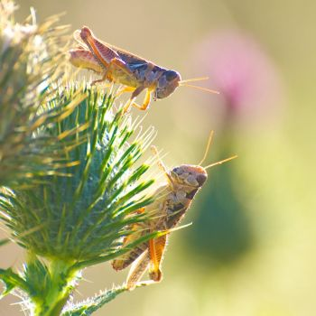 grasshoppers stock 2 by stockf8